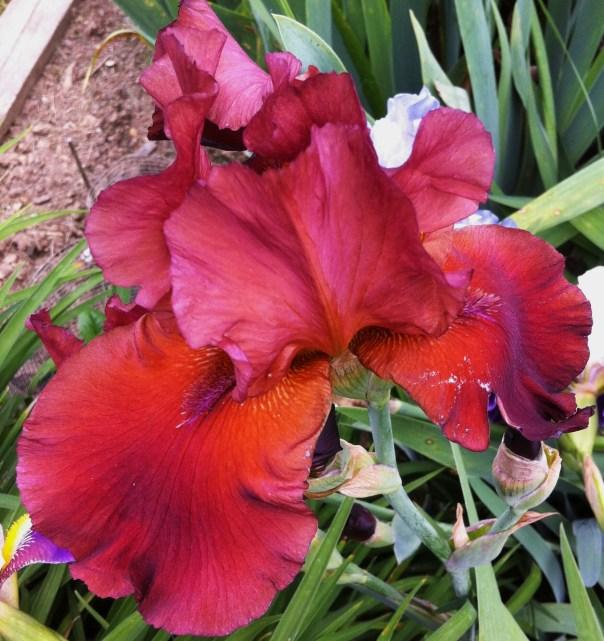 Phyllis Flowers 001